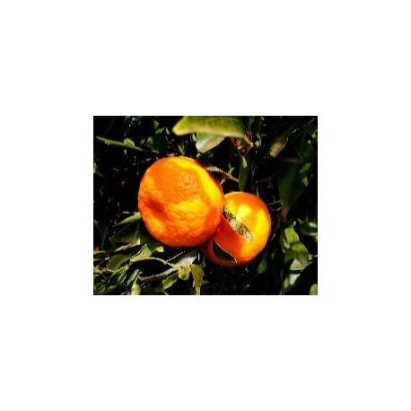 Mandarino Tardivo di Ciaculli 15 Kg