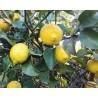Cassa di Limoni 15kg