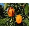 Cassa di Kumquat 3 Kg
